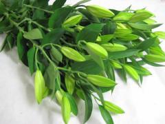 HBユリ (アルマータ Wなど)5本 切花 生け花 花材