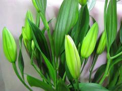 真っ白な百合 シベリアなど 5本 切花 生け花 花材