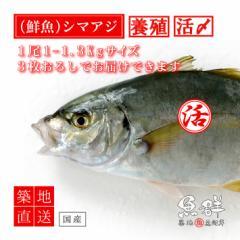 養殖 シマアジ1尾(1-1.3kg前後サイズ)(国産) 冷蔵便 築地直送 [鮮魚]
