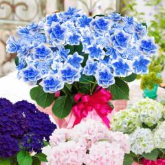 母の日 アジサイ ギフト プレゼント 園芸専門店が選ぶ特選 紫陽花 ゴールドセレクション あじさい 2021