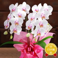 母の日ギフト『ミディ胡蝶蘭 2本立ち「メルシーマム」』飾りやすいサイズのミディ胡蝶蘭を令和元年の母の日に!