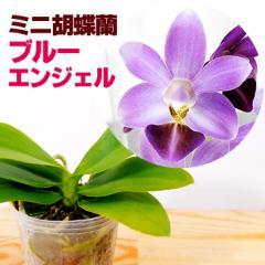 洋ラン『青いミニ胡蝶蘭 ブルーエンジェル【花咲く苗セット】』