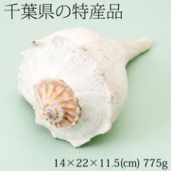 【半額・在庫処分】巻貝の置物1 インテリア飾り用 千葉県の特産品 Snail figurine, Chiba specialty products