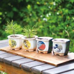 盆栽栽培セット JAPANESE BONSAI 発芽保障 黒松 聖新陶芸 和風 手軽に盆栽