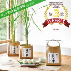 お米 栽培セット 自分米 田植えと栽培を体験できる 発芽保障  栽培キット 聖新陶芸 かわいい
