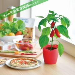 パプリカ栽培キット 発芽保障  赤いパプリカ 栽培セット 聖新陶芸