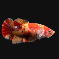 (熱帯魚)鯉ベタ・ハーフムーンプラカット コイカラー ニモ(キャンディー) メス(1匹) 北海道・九州航空便要保温