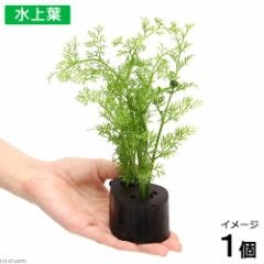 (水草)ベトナム産スプライト ログポット付(水上葉)(無農薬)(1個) 北海道航空便要保温
