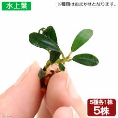 (水草)おまかせブセファランドラ(水上葉)(5種1株ずつ)(無農薬)(インボイス) 北海道航空便要保温
