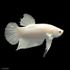 (熱帯魚)ベタ・ハーフムーンプラガット スーパーホワイト(1ペア) 北海道・九州・沖縄航空便要保温
