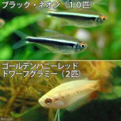 (熱帯魚)ブラック・ネオン(10匹) + ゴールデンハニーレッド・ドワーフグラミー(2匹) 北海道・九州・沖縄航空便要保温