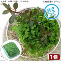 (ビオトープ)水辺植物 巻きたて メダカが喜ぶ侘び島!〜赤系水草Ver.〜 浮き島 産卵 隠れ家(1個)