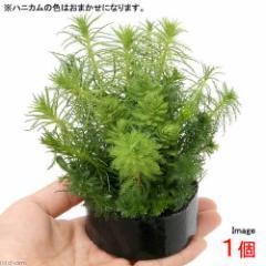 (水草)ハニカムシェルター 寄せ植えミックス Ver. ミリオフィラム(水上葉)(無農薬)(1個) 熱帯魚