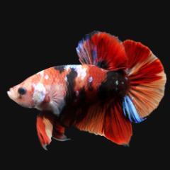 (熱帯魚)鯉ベタ・ハーフムーンプラカット コイカラー ニモ(キャンディー) オス(1匹) 北海道・九州・沖縄航空便要保温