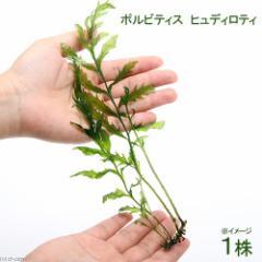 (水草)ボルビティス ヒュディロティ(無農薬)(1株)