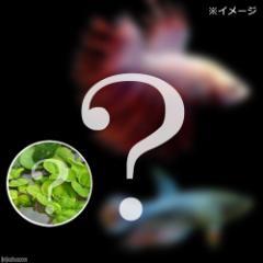 (熱帯魚)(水草)ベタ・クラウンテール 色指定なし(おまかせ浮き草3種セット付き)(1ペア) 北海道・九州航空便要保温