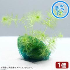 (水草)巻きたて ウトリクラリア アウレア(ノタヌキモ)ボール(無農薬)(1個) 北海道航空便要保温