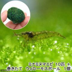 (エビ)(水草)ミナミヌマエビ(10匹) + 巻きたて ウィローモスボール 1個 北海道航空便要保温