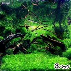 (水草)ウォーターフェザー バラ(無農薬)(3パック)