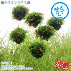 (水草)巻きたて クリスマスモス バルーン(無農薬)(4個) 北海道航空便要保温