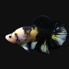 (熱帯魚)鯉ベタ・ハーフムーンプラガット コイカラー オス(黄色系)(3匹) 北海道航空便要保温 沖縄別途送料