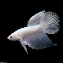 (熱帯魚)ベタ・トラディショナル プラチナホワイト系(オス)(1匹) 北海道・九州航空便要保温