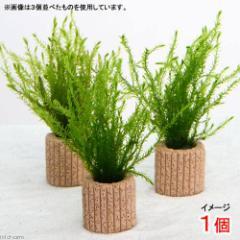 (水草)ライフマルチ(茶) ノコギリカワゴケカーテン(無農薬)(1個)