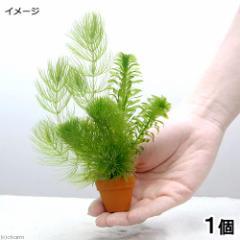 (水草)プチ素焼き鉢 金魚藻ミックス(水中葉)(1個)
