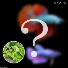 (熱帯魚)ベタ・スーパーデルタテール 色指定なし(おまかせ浮き草3種セット付き)(1ペア) 北海道・九州航空便要保温