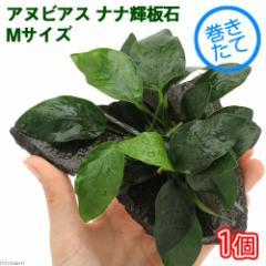 (水草)アヌビアスナナ 輝板石 Mサイズ(約14cm)(1個)
