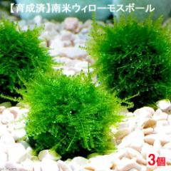 (水草)育成済 南米ウィローモス ボール(無農薬)(3個) 北海道航空便要保温