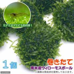 (エビ)(水草)ミナミヌマエビ(5匹)+(水草)巻きたて 南米ウィローモスボール(無農薬)(1個) 北海道・九州航空便要保温