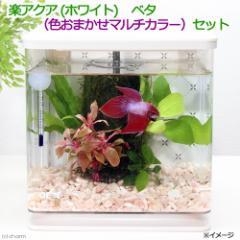 (熱帯魚)GEX 楽アクア ホワイト ベタ(色お任せマルチカラー・オス)水草飼育セット 本州・四国限定