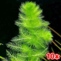 (水草)メダカ・金魚藻 ウトリクラリア アウレア(ノタヌキモ)(無農薬)(10本) 北海道航空便要保温