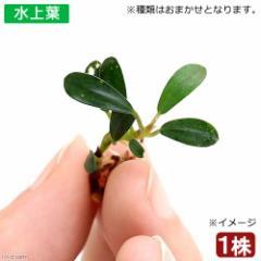 (水草)おまかせブセファランドラ1種(水上葉)(無農薬)(インボイス)(1株)