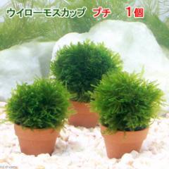 (水草)育成済 ウィローモス カッププチ(無農薬)(1個) 北海道航空便要保温