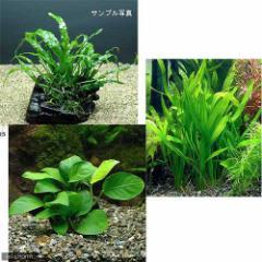 (水草 熱帯魚)コリドラス用水草 2000円セット 3種(1パック)