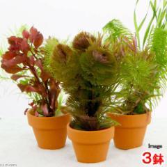 (水草)寄せ植えミックス ミニ素焼き鉢(水中葉)(無農薬)(3鉢) 北海道航空便要保温