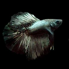 (熱帯魚)ベタ・ハーフムーン コッパーブラック(オス)(1匹) 北海道・九州・沖縄航空便要保温