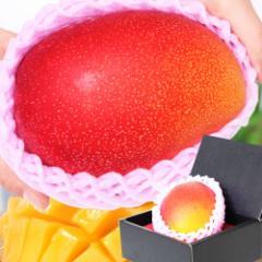 母の日 ギフト 特大宮崎マンゴー 1玉 化粧箱入り 送料無料 完熟/宮崎産プレミアムマンゴー/フルーツ/果物/贈答/早割
