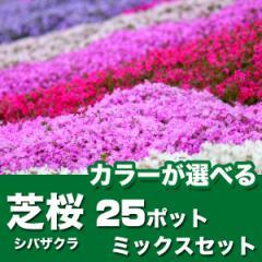 シバザクラ 芝桜 25ポットセット グランドカバー ポット苗