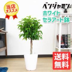 ベンジャミン ゴムの木 6号 ホワイト セラアート鉢 (観葉植物 本物/インテリア/引越し祝い/開店祝い/新築祝い) 在庫限り