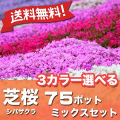 送料無料 シバザクラ 芝桜 3カラー選べる 75ポット ミックスセット グランドカバー