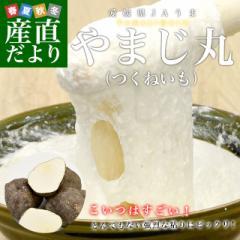 愛媛県より産地直送 四国中央JAうま 山の芋 やまじ丸 2キロ (4玉から5玉)  送料無料 やまじ王 ヤマジ やまのいも つくねいも 宇摩農協 産