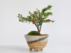 [敬老の日 HB]長寿梅 信楽祝い鉢 [受け皿付き]【ギフト 盆栽 お祝い 退職 ラッピング 母の日 父の日 敬老の日 誕生日】