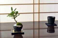 エゾ松 北海道産の松盆栽【蝦夷松の盆栽 ギフト 盆栽 開店 お祝い 退職 ラッピング 母の日 父の日 敬老の日 誕生日】