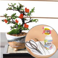 【母の日 盆栽 ミニ盆栽 鉢植 花ギフト 趣味 贈り物 鉢植え】[母の日 SHB]長寿梅白掛とはじめて道具セット 白掛の受皿付き