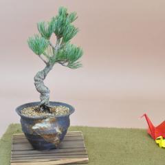 【ギフト 盆栽 開店 お祝い 退職 ラッピング 母の日 父の日 敬老の日 誕生日】[母の日]五葉松小 つぼ鉢 敷板付き