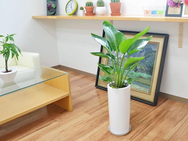 観葉植物 ストレリチア・オーガスタ 円柱形陶器鉢植え 7号 イメージ2