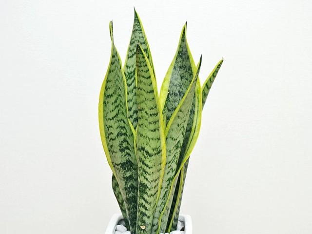 観葉植物 サンスベリア 陶器鉢植え 葉の拡大